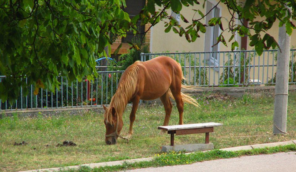 U Ćoški se svakodnevno napasa nekoliko konja. Foto VranjeNews